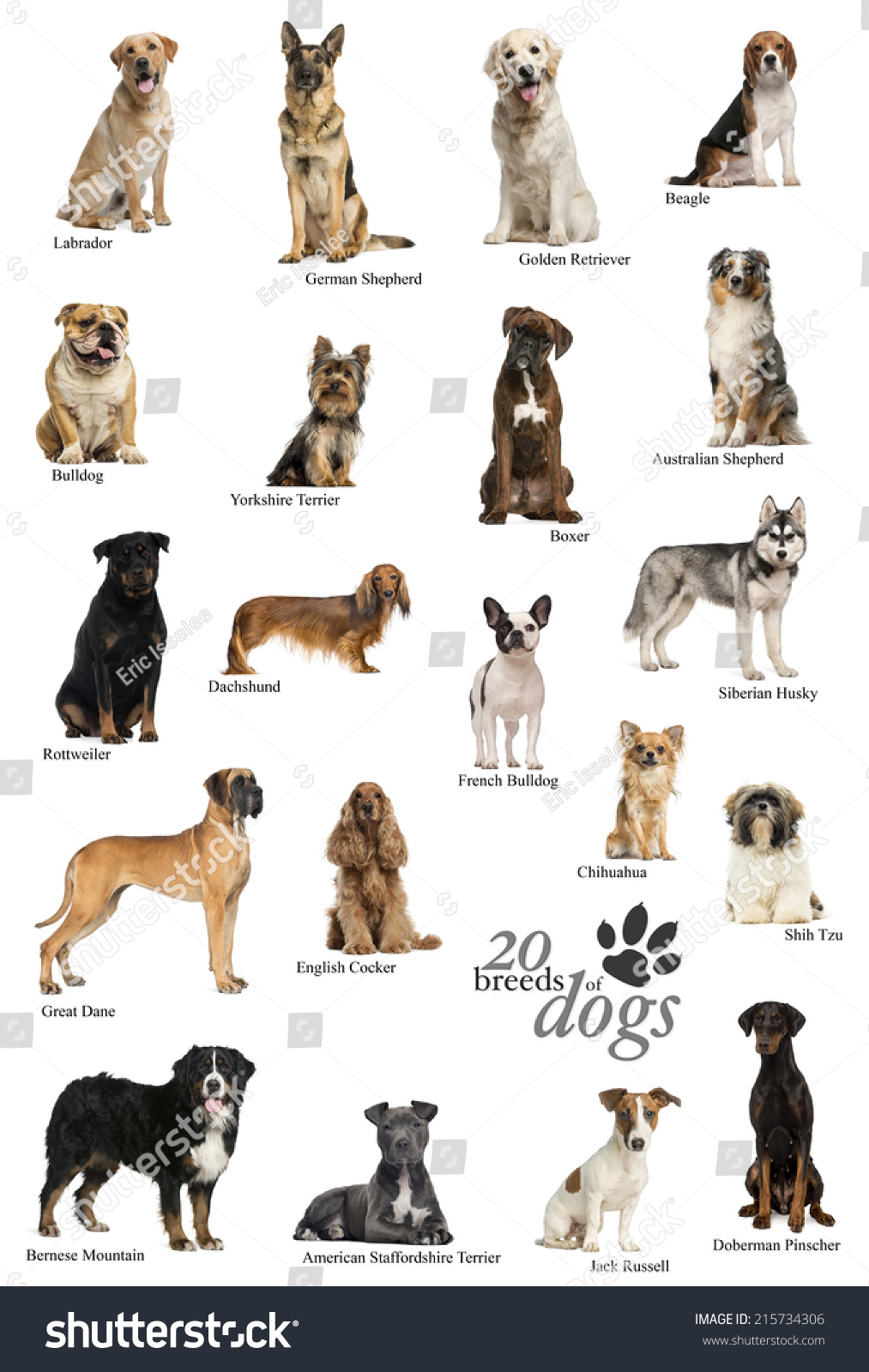 Dog Breeds Poster In English Stock Photo 215734306 ...