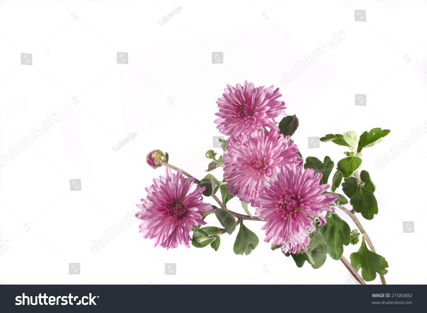 Fall Flower On White Background Ez Canvas