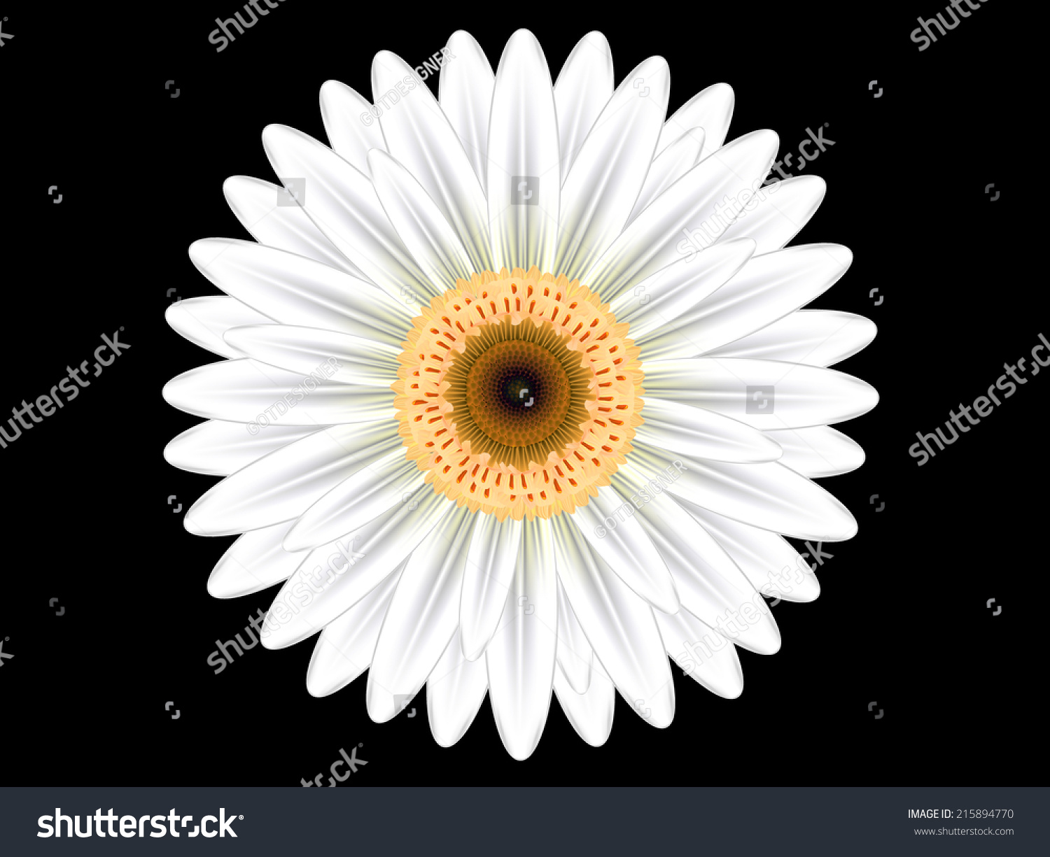 Colorful White Gerbera Flower On Black Stock Vector Hd Royalty Free