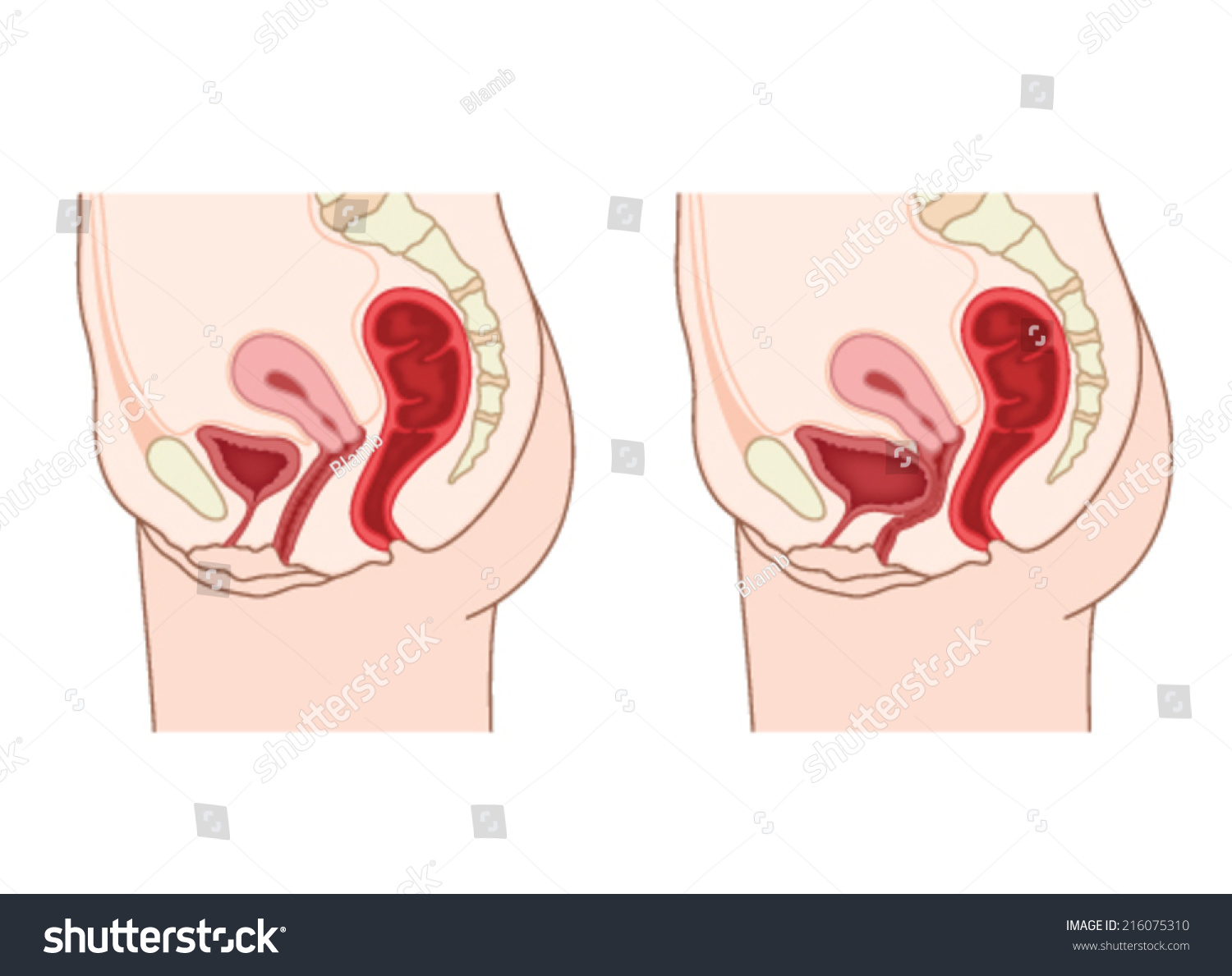 Drawing Show Normal Female Abdominal Anatomy Stock Vector 216075310 ...