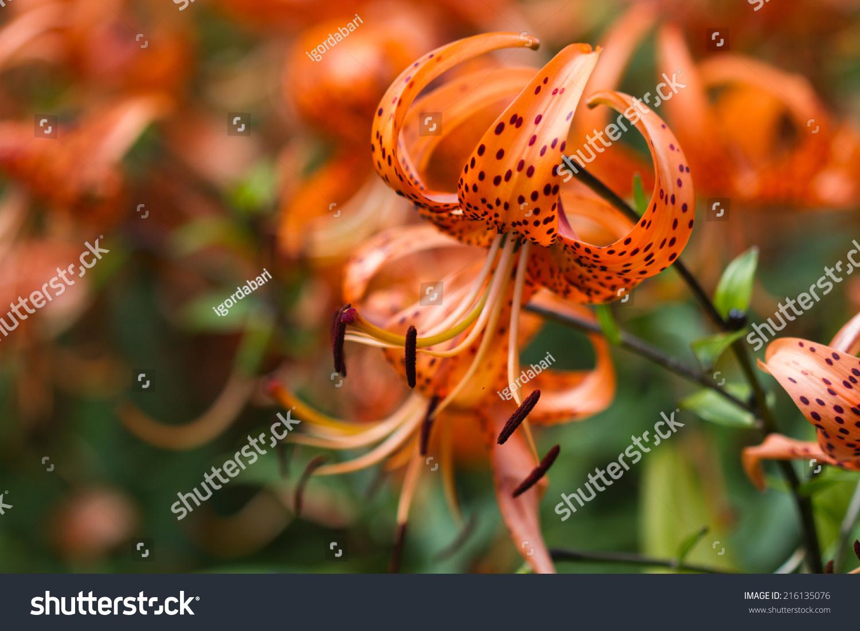 Tiger lilies garden lilium lancifolium syn stock photo royalty free tiger lilies in garden lilium lancifolium syn l tigrinum is one izmirmasajfo