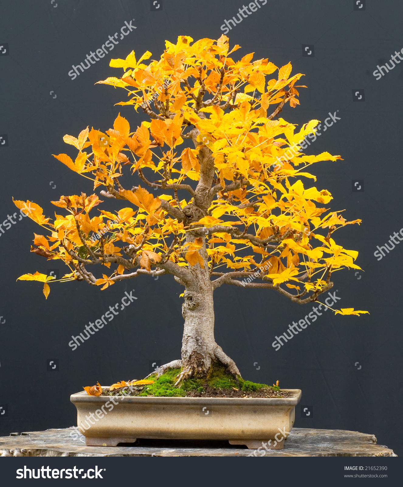 Horse Chestnut Bonsai Fall Stock Photo Edit Now 21652390
