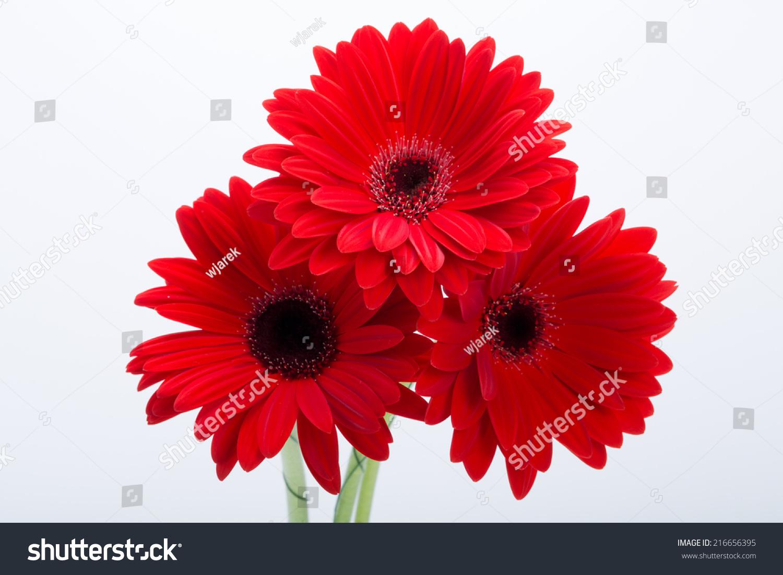 Red Gerbera Daisy Flower Stock Photo (Royalty Free) 216656395 ...