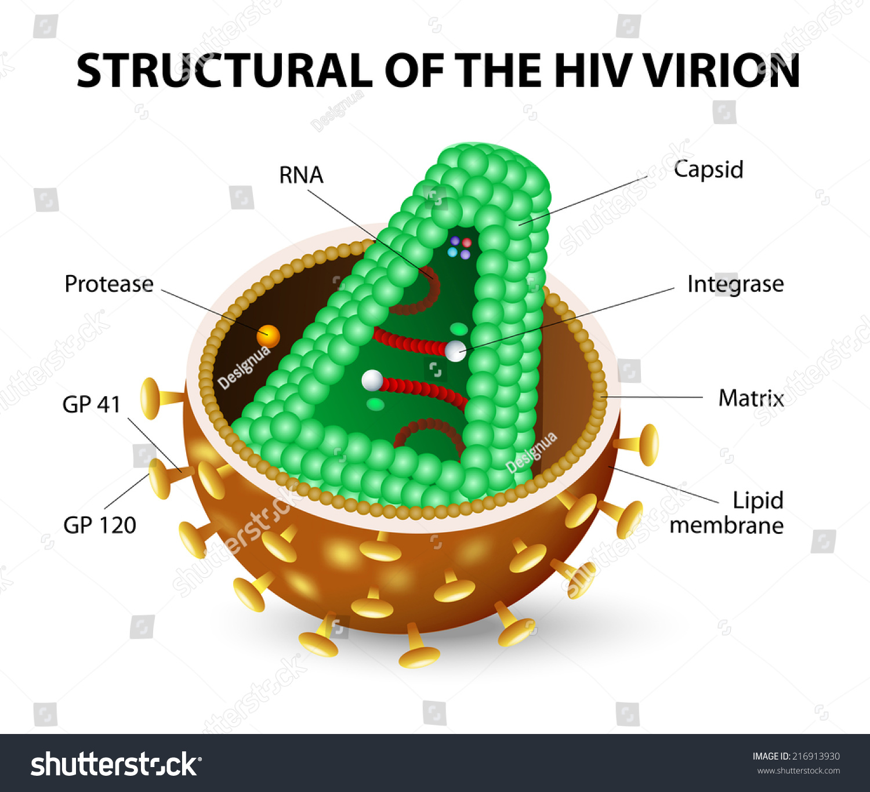 Human Immunodeficiency Virus HIV Anatomy AIDS Stock Illustration ...