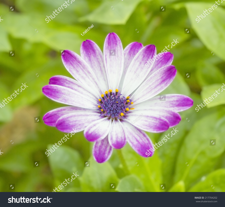 Purple White Perennial Indian Blanket Flower Stock Photo Edit Now