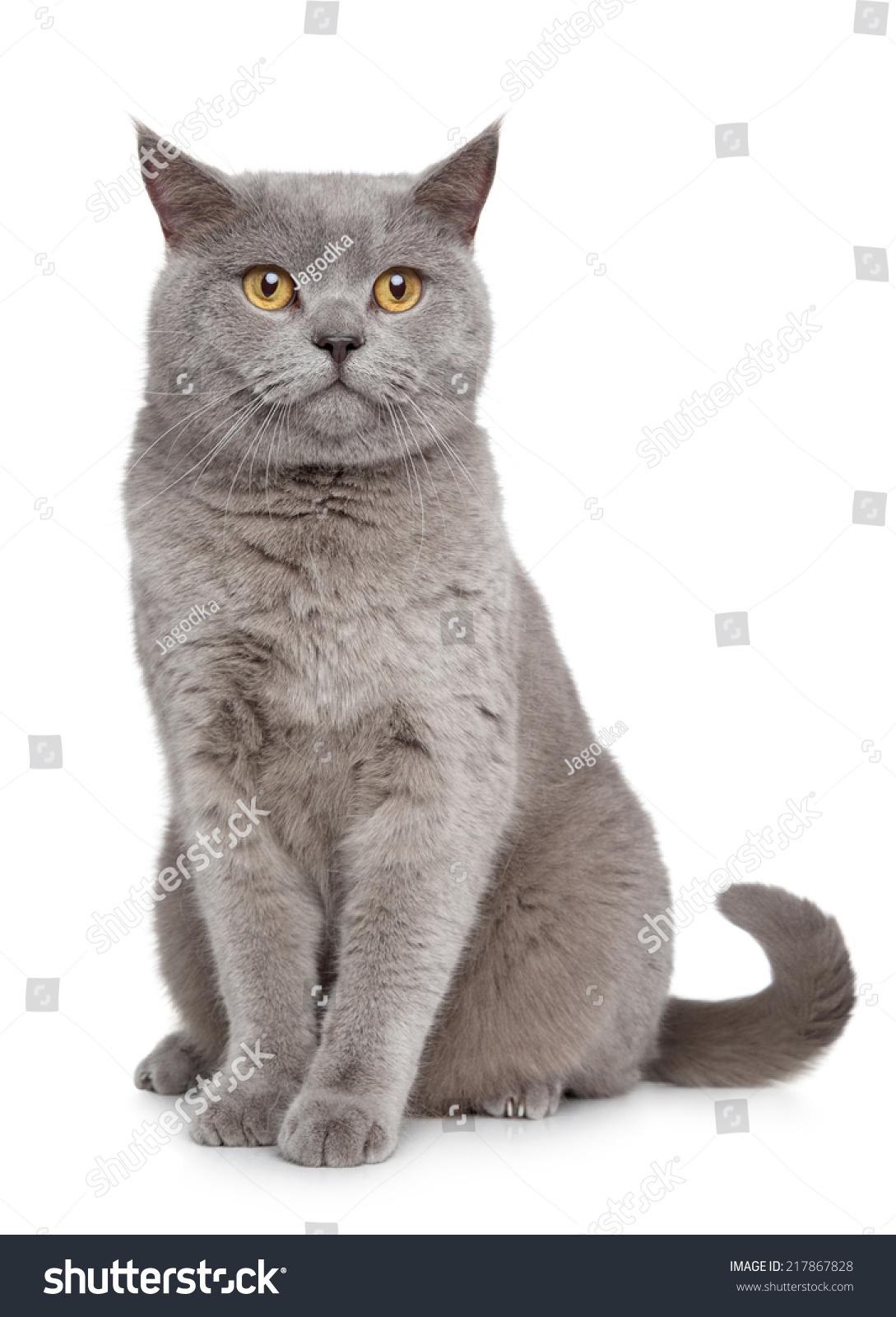 British Shorthair Cat Portrait White Stock