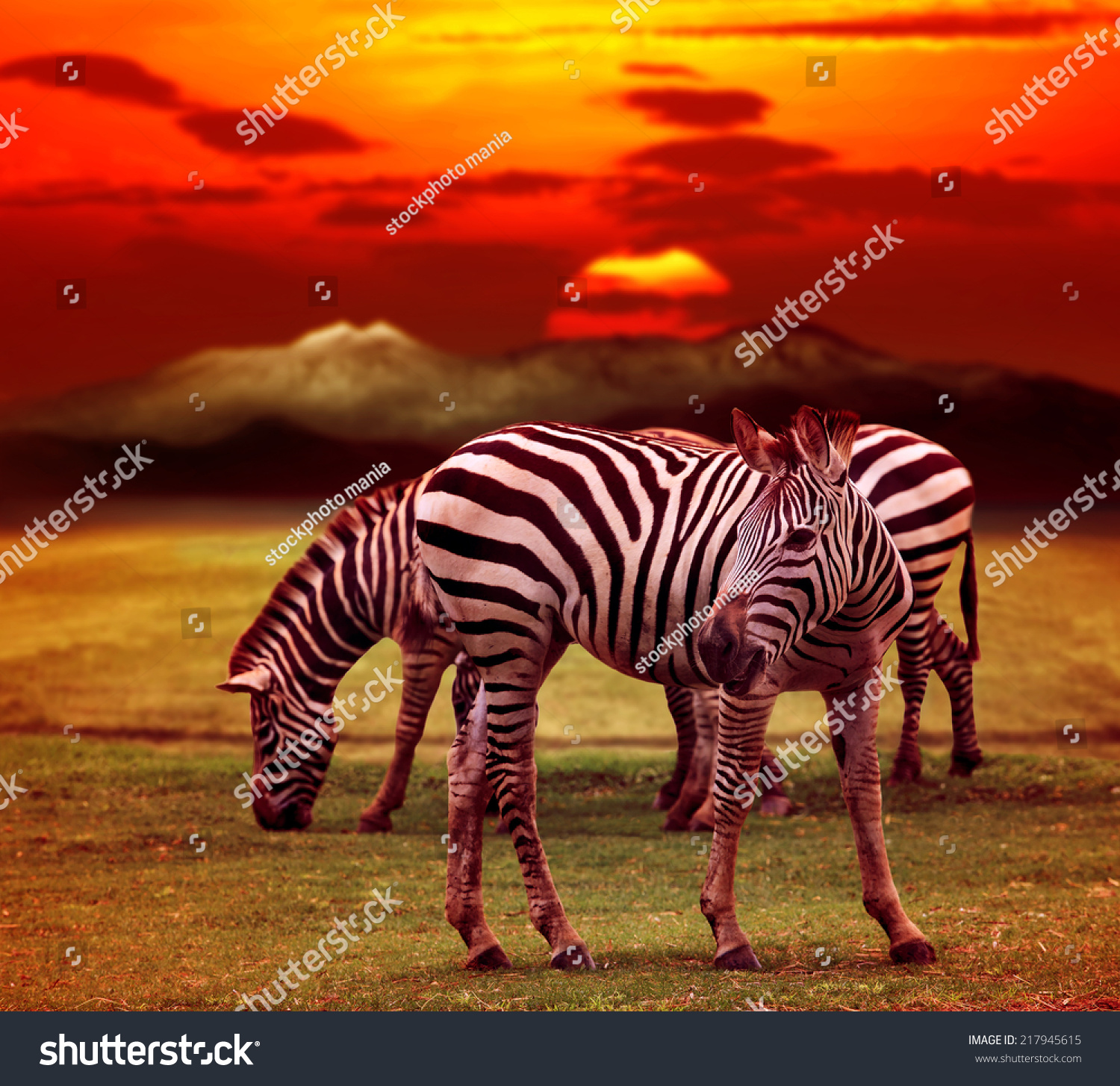 wild zebra standing in green grass field against beautiful dusky sky use for wild life and animals in africa safari wilderness  #217945615