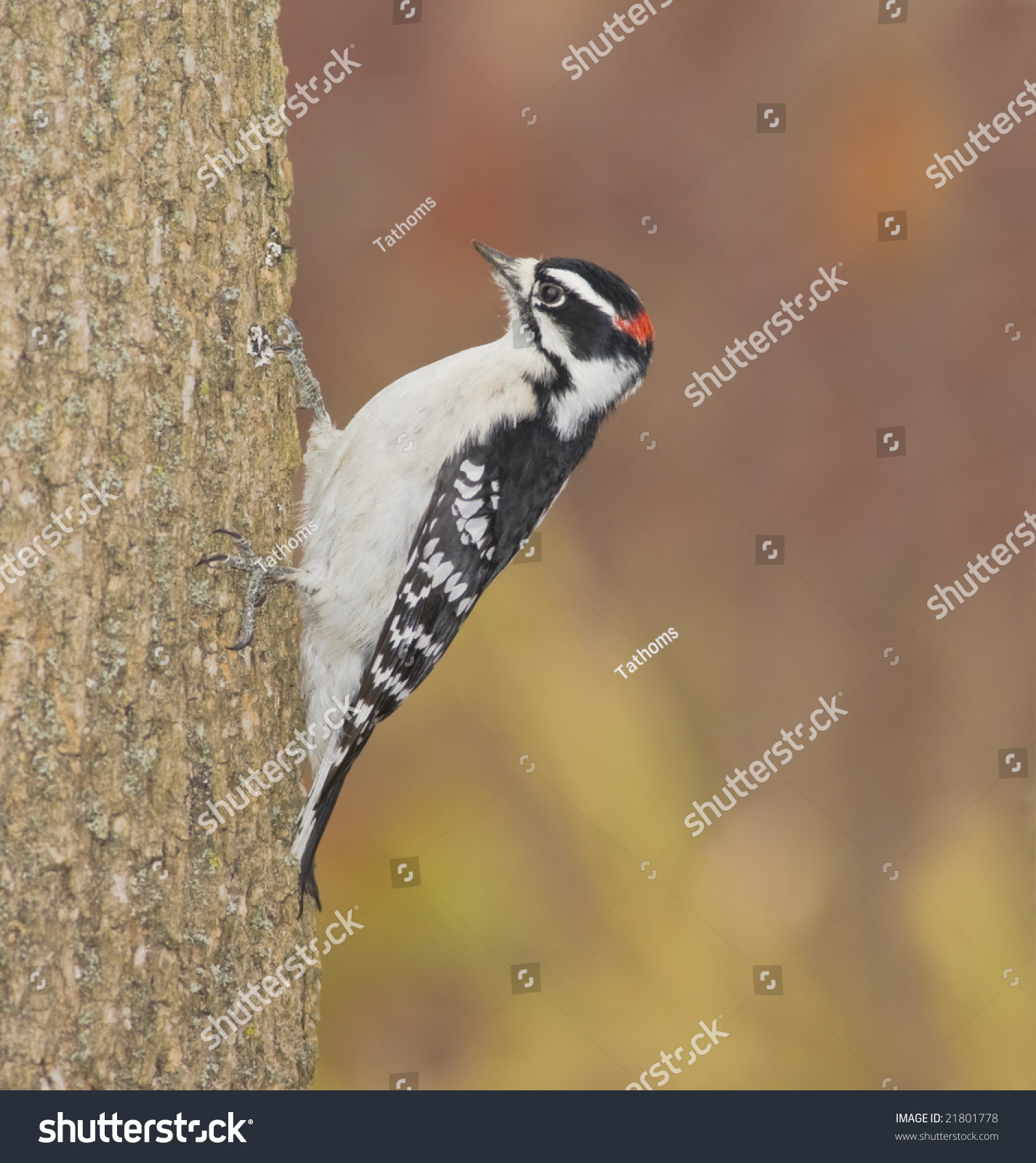 Downy woodpecker, male, Picoides pubescens. Copy space.