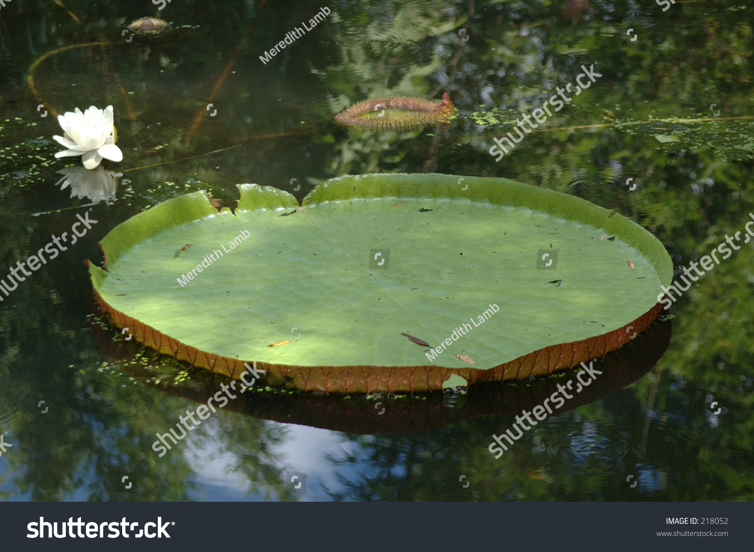 Giant amazon lily pad flower stock photo edit now 218052 giant amazon lily pad with flower izmirmasajfo