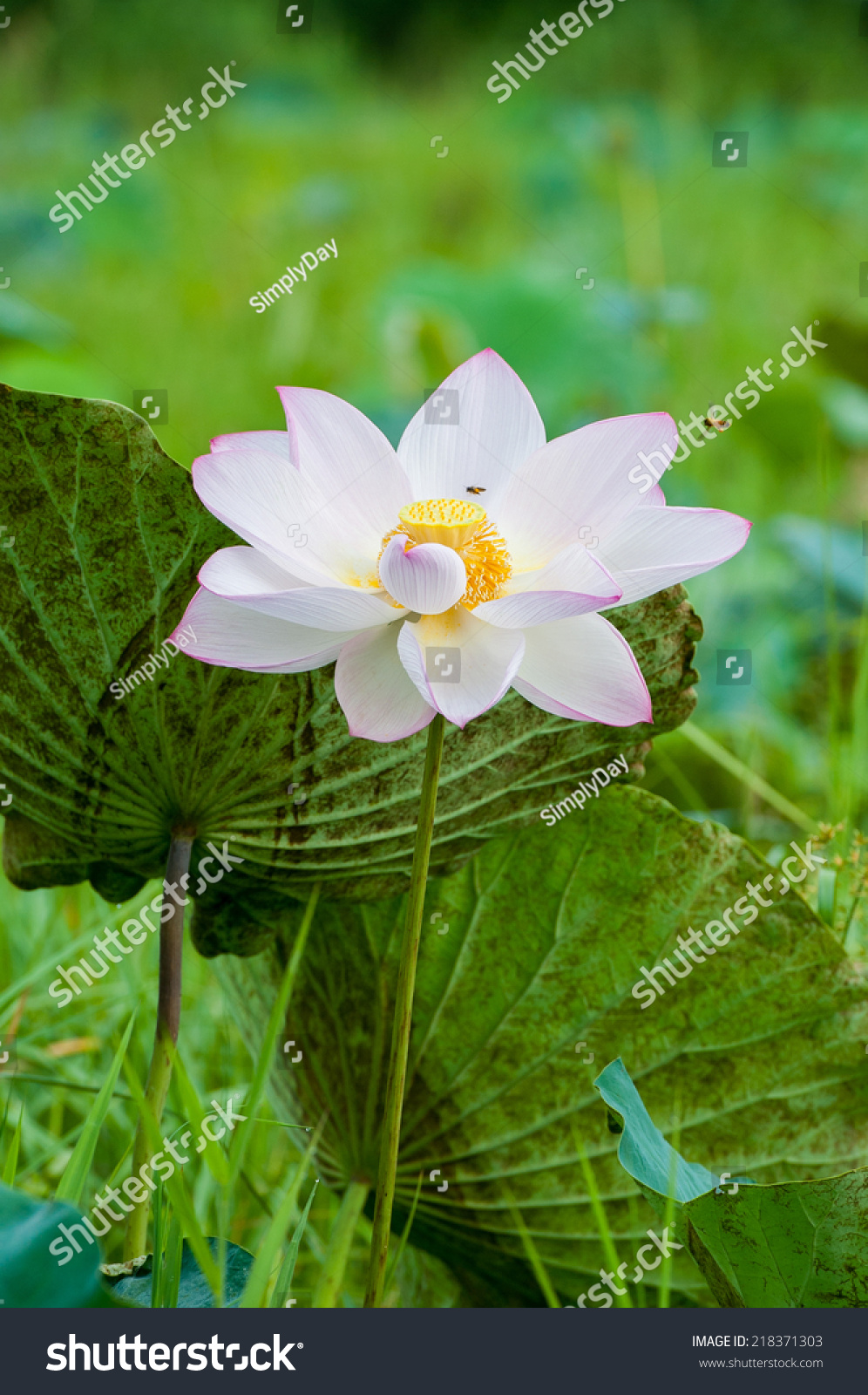Lotus Flower Lotus Flower Plants Stock Photo Edit Now 218371303