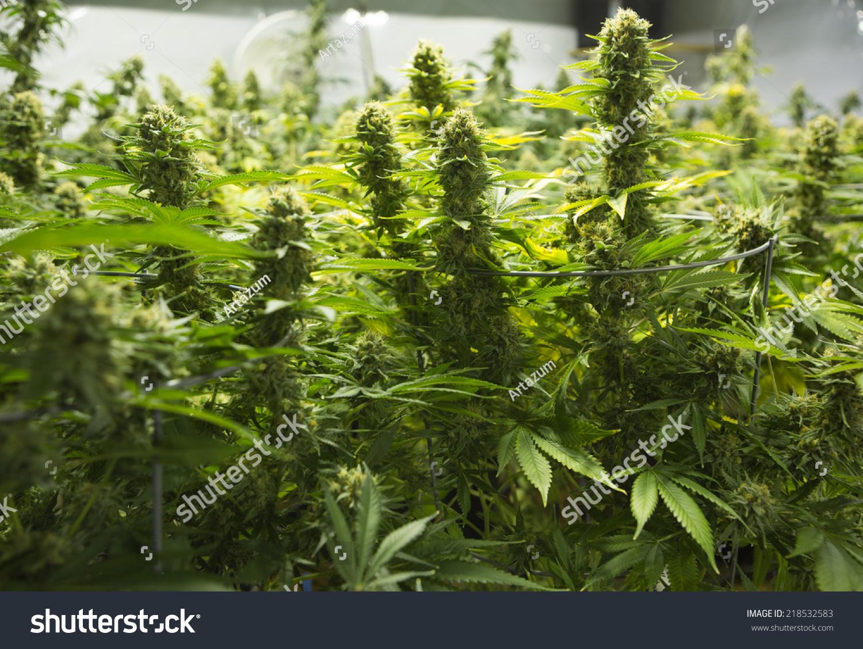 Marijuana Garden With Flowering Plant ( Cannabis), Hemp Plant