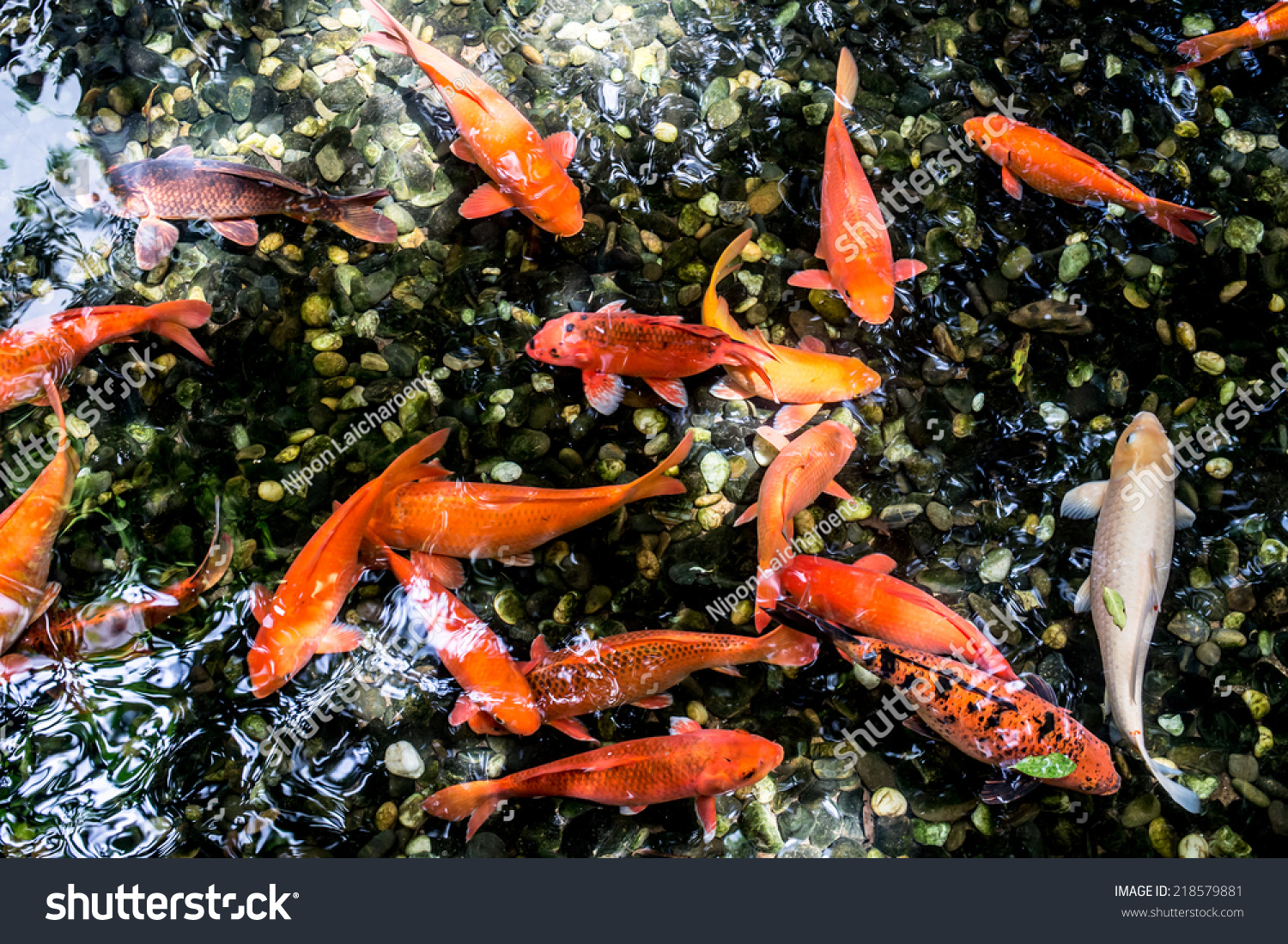 Koi swimming in a water garden colorful koi fish detail of for Colorful pond fish