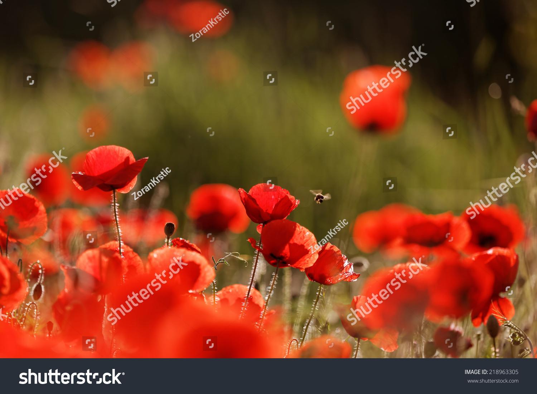 Beautiful Poppy Flowers Ez Canvas