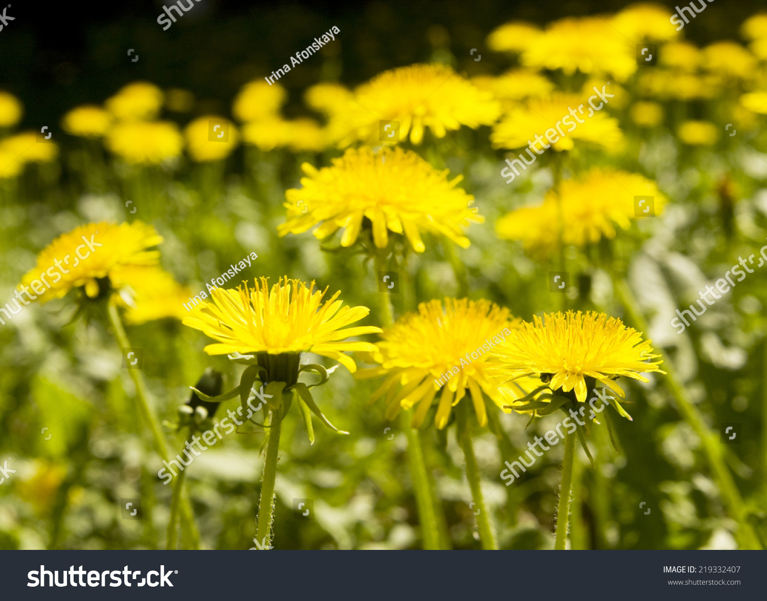 Yellow Flowers Dandelions Close Of A Sunny Day Rural View Of Flower