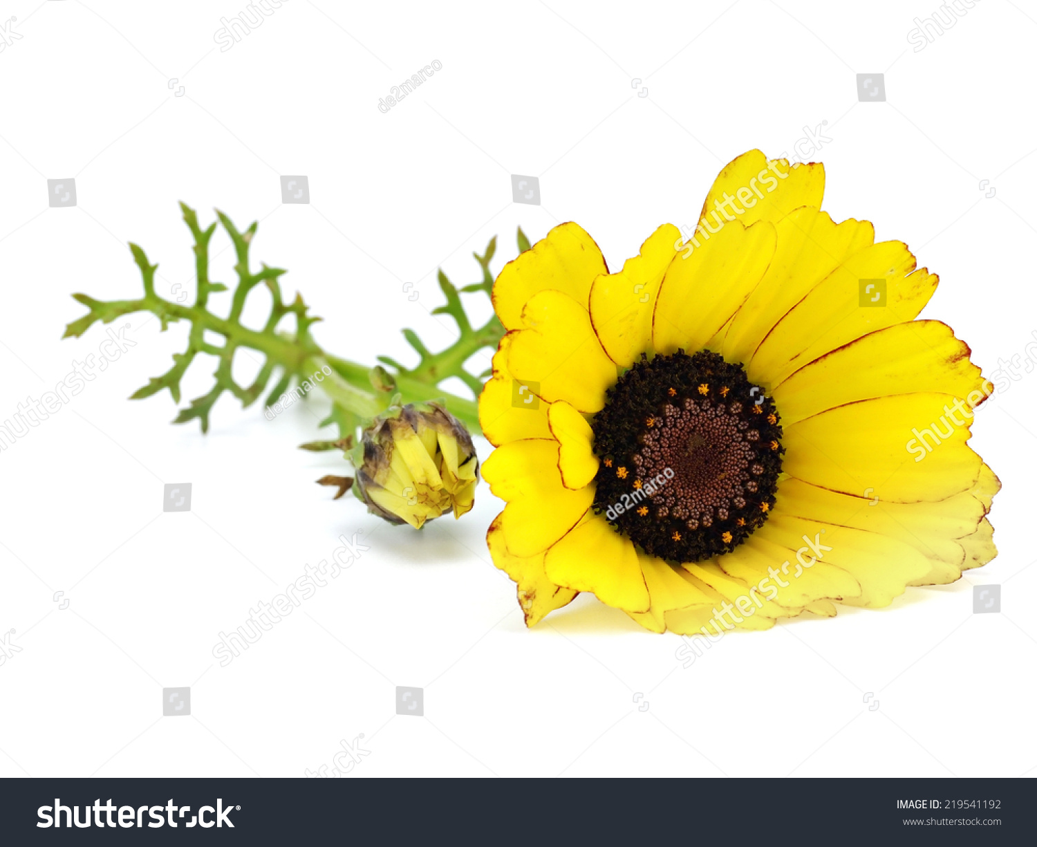 Yellow chrysanthemum flower on a white background       #219541192