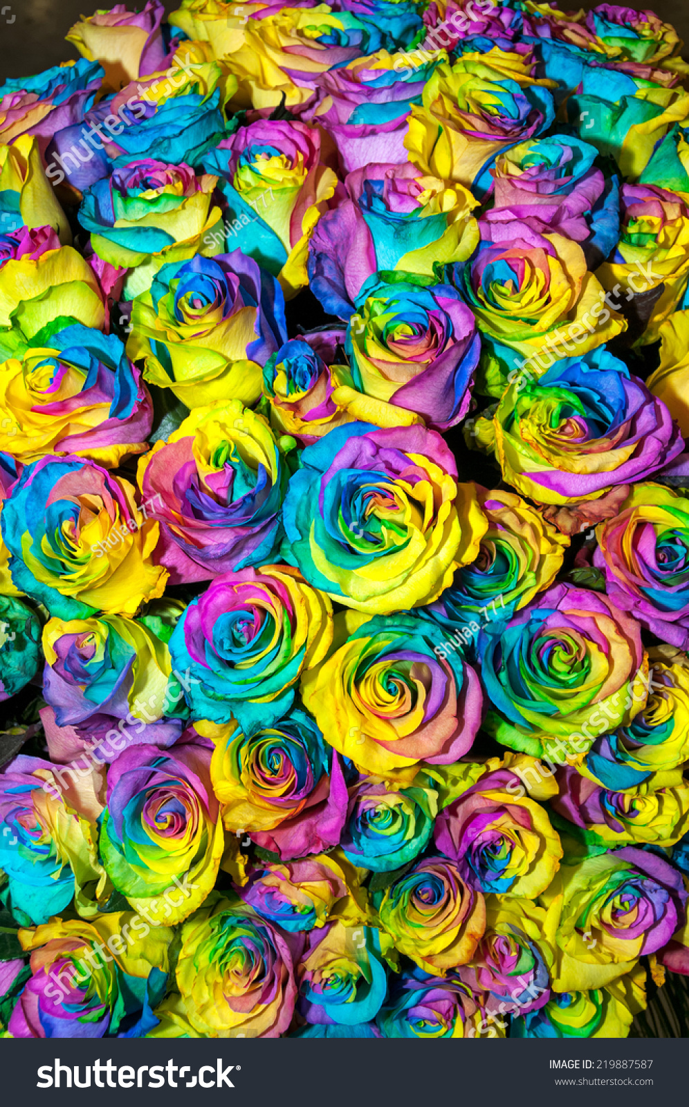 Beautiful Multicolor Rainbow Roses Background Stock Photo Download