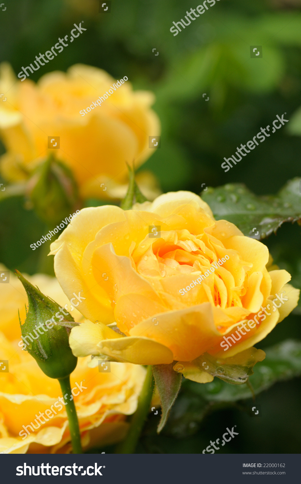 yellow roses with water drops - photo #28