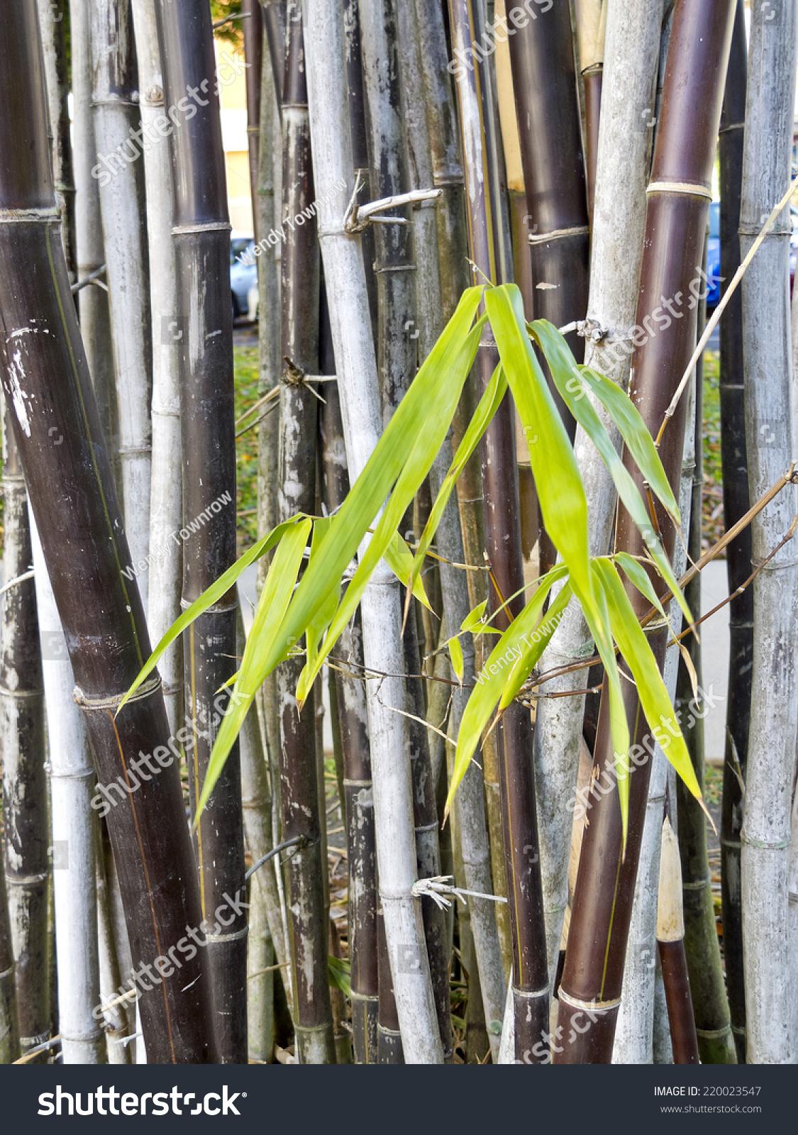 Bamboo queensland