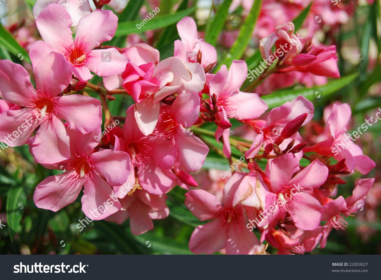 Pink Flowering Bushes Ez Canvas