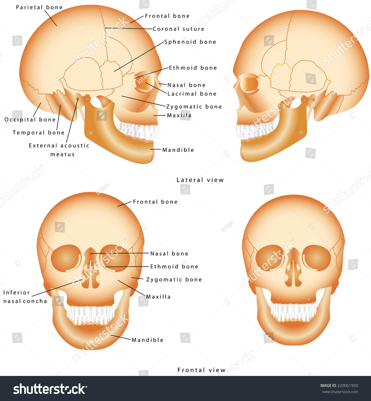 Human Skull Structure Skull Anatomy Labeling Stock Vector (Royalty ...