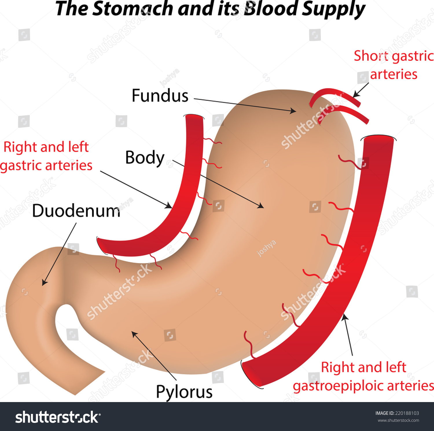 Stomach Blood Supply Labeled Diagram Stock Illustration 220188103 ...