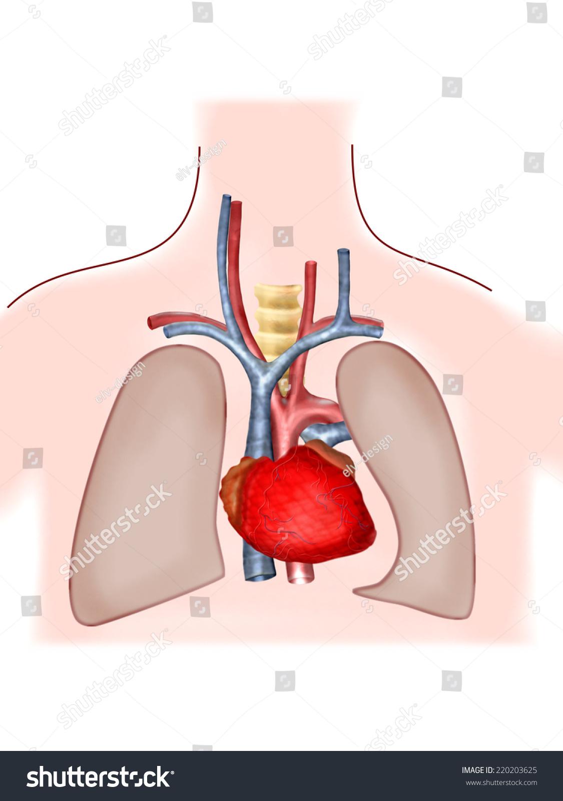 Pulmonary Circulation Stock Illustration 220203625 Shutterstock