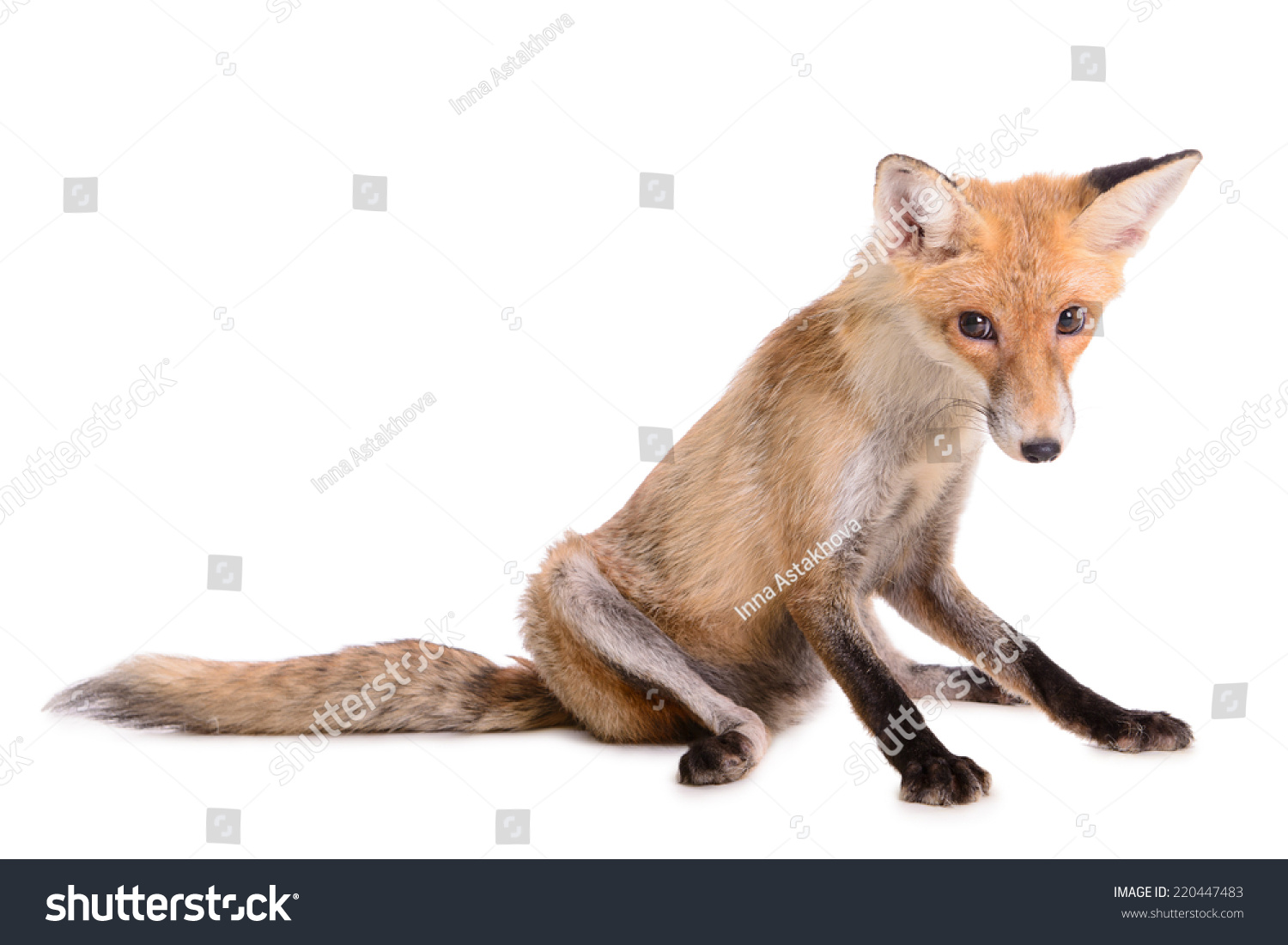 Fox with a hat new year or christmas animal isolated on white - Sad Red Fox Animal Isolated On White Background
