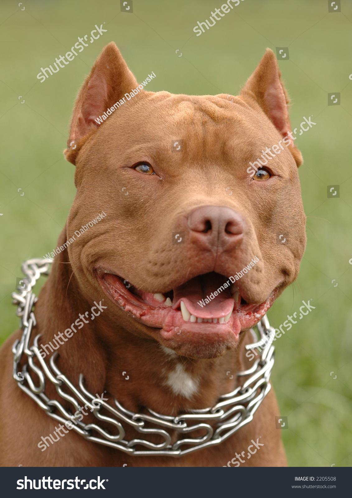 Pitbull Red Nose Dog Portrait Stock Photo 2205508