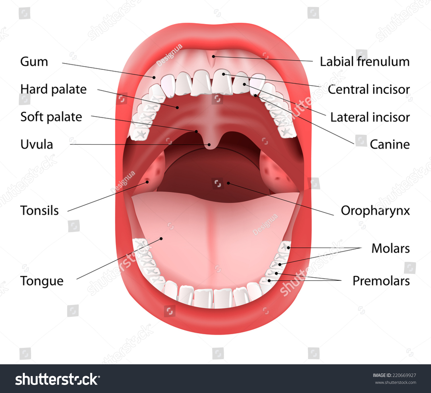 parts human mouth open mouth white stock vector 220669927, Cephalic Vein