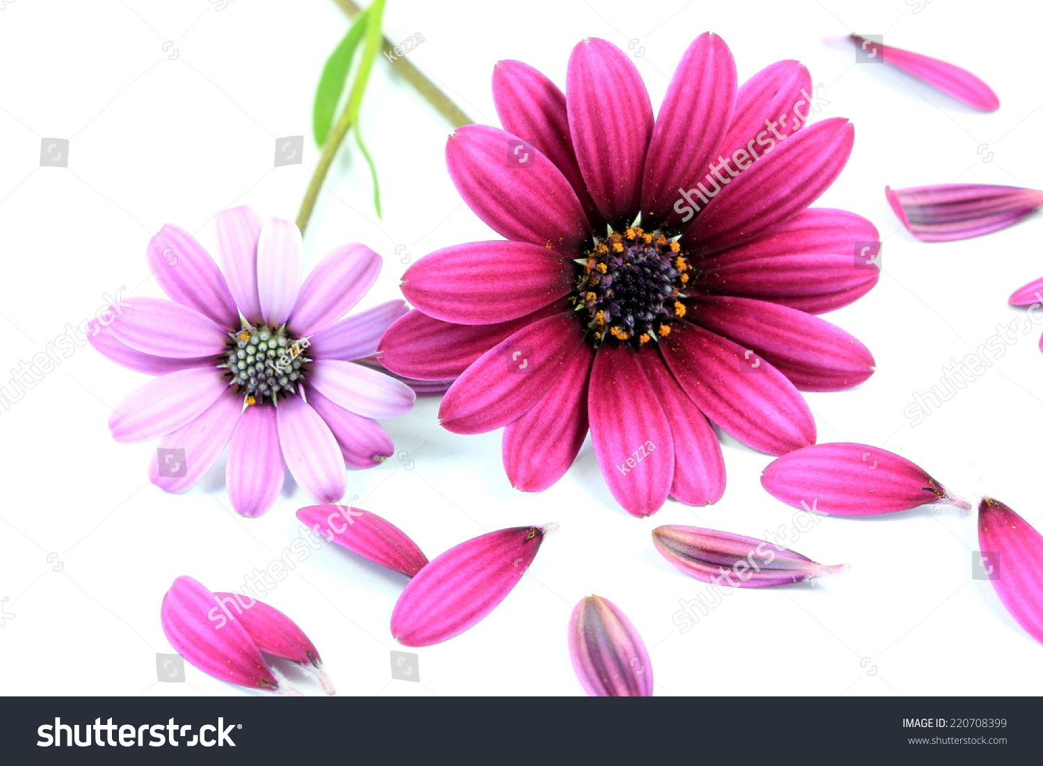 Pink and purple daisy flowers on a white background ez canvas id 220708399 izmirmasajfo