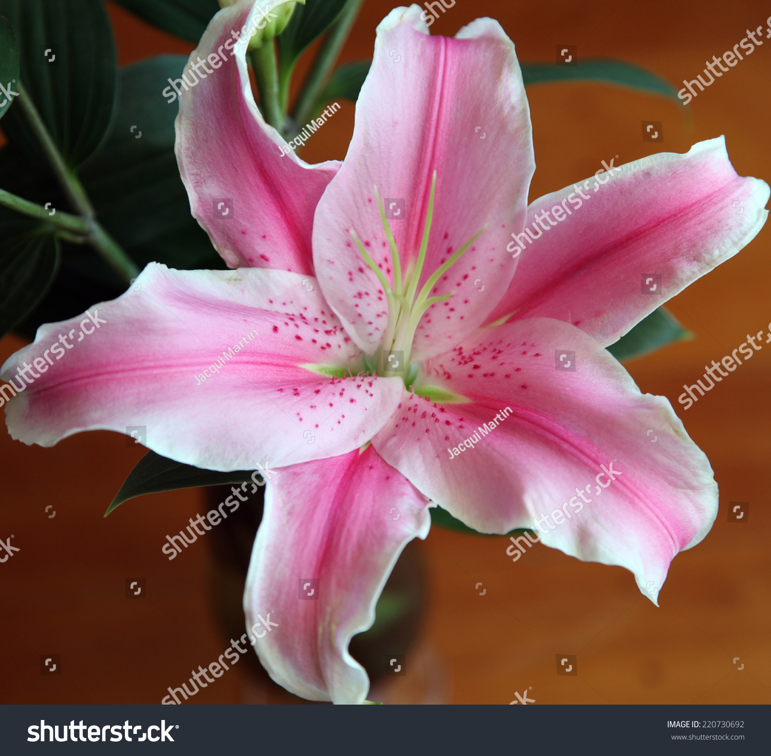 Beautiful Pink White Lily Flower Stock Photo Edit Now 220730692