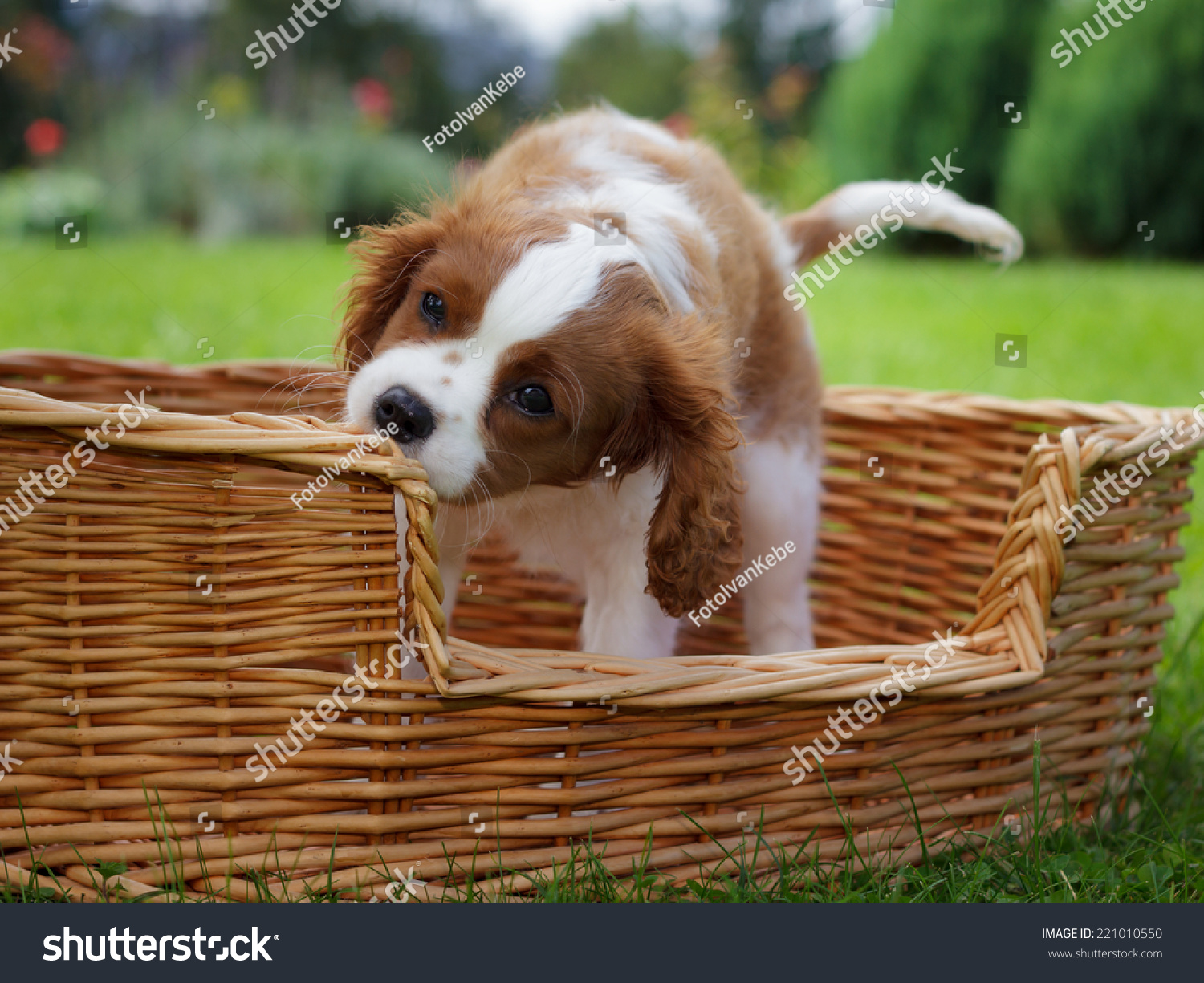 Most Inspiring Charles Spaniel Brown Adorable Dog - stock-photo-adorable-little-cavalier-king-charles-spaniel-playing-in-the-basket-221010550  Collection_11438  .jpg