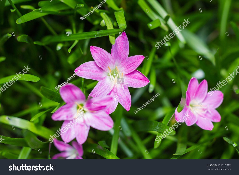 Purple Rain Lily Flower Thailand Ez Canvas