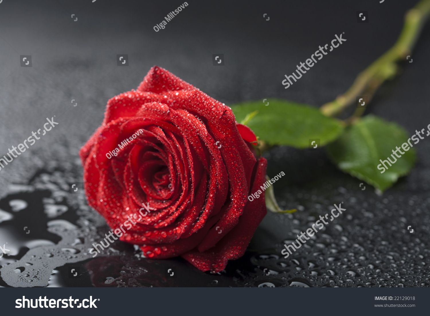 Red Roses With Water Drops With Black Background
