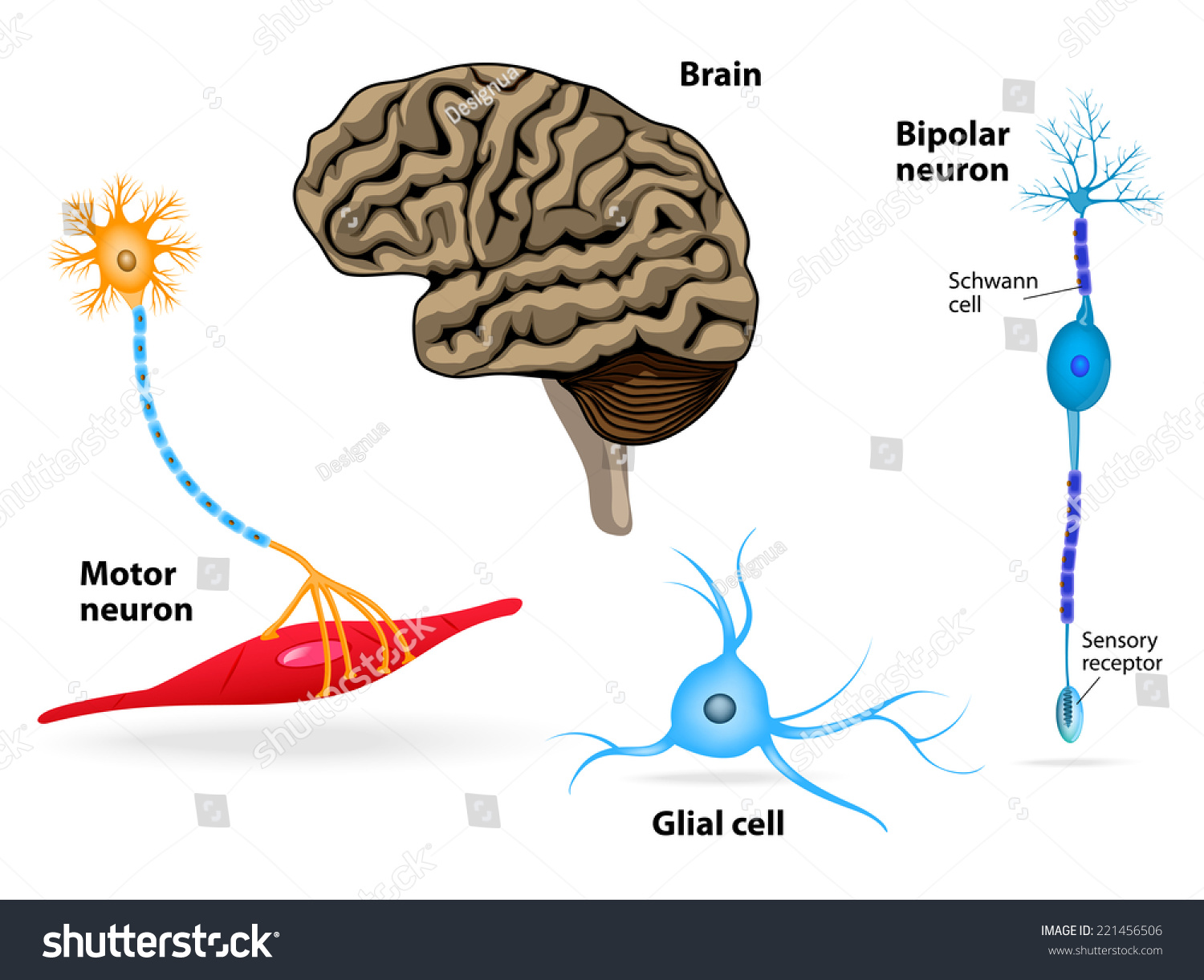 Nervous System Human Anatomy Brain Motor Stock Vector HD (Royalty ...