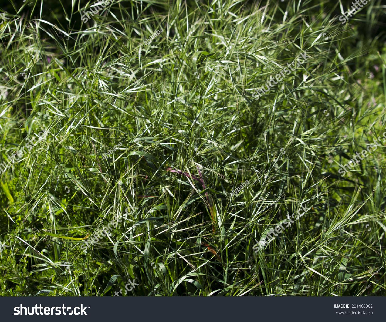Silver Grass Vulpia Hairgrass Silkygrass Common Stock Photo Edit