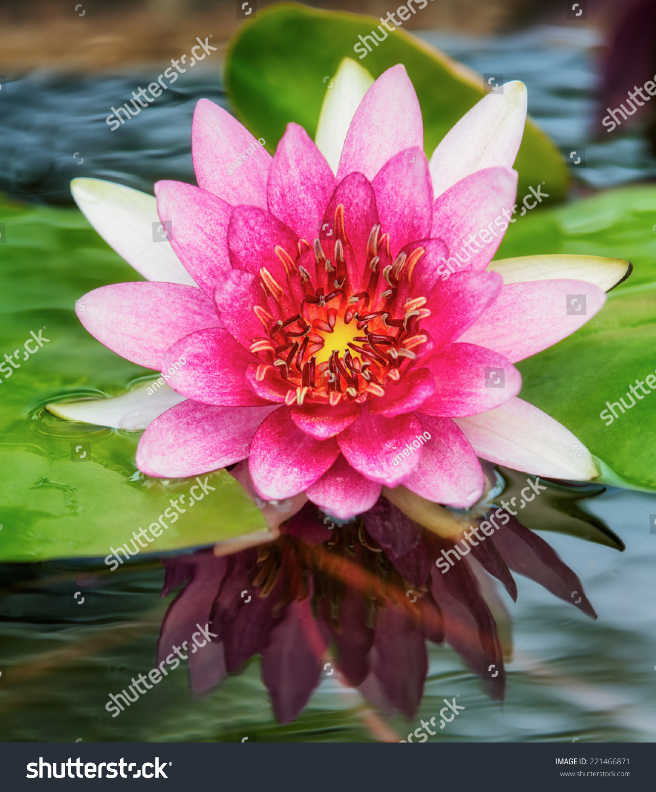 This Beautiful Waterlily Lotus Flower Complimented Stock Photo ...