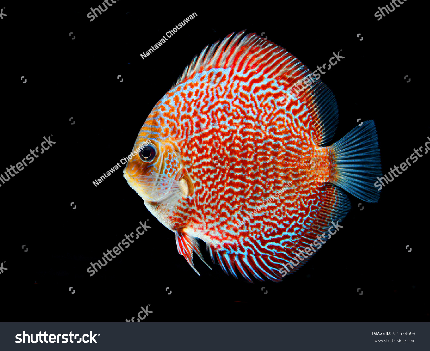 Beautiful Discus Fish Isolated On Black Stock Photo (Royalty Free ...