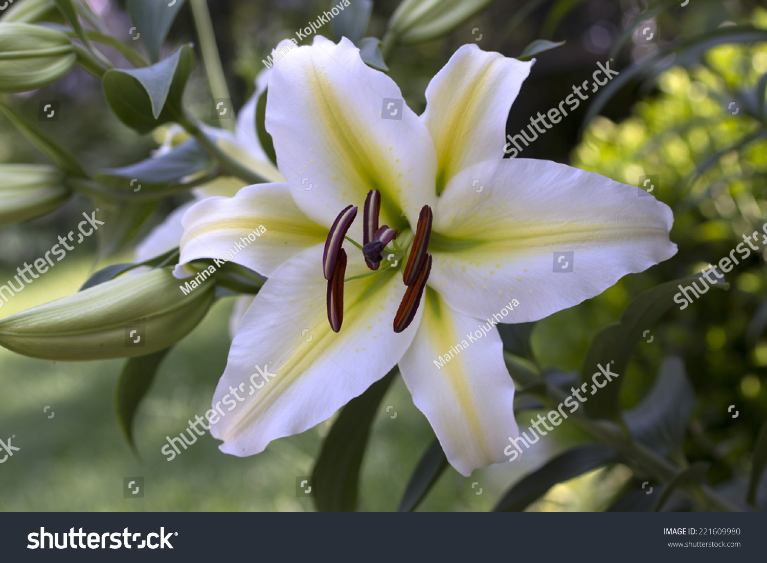 Beautiful Flowers Lily Ez Canvas