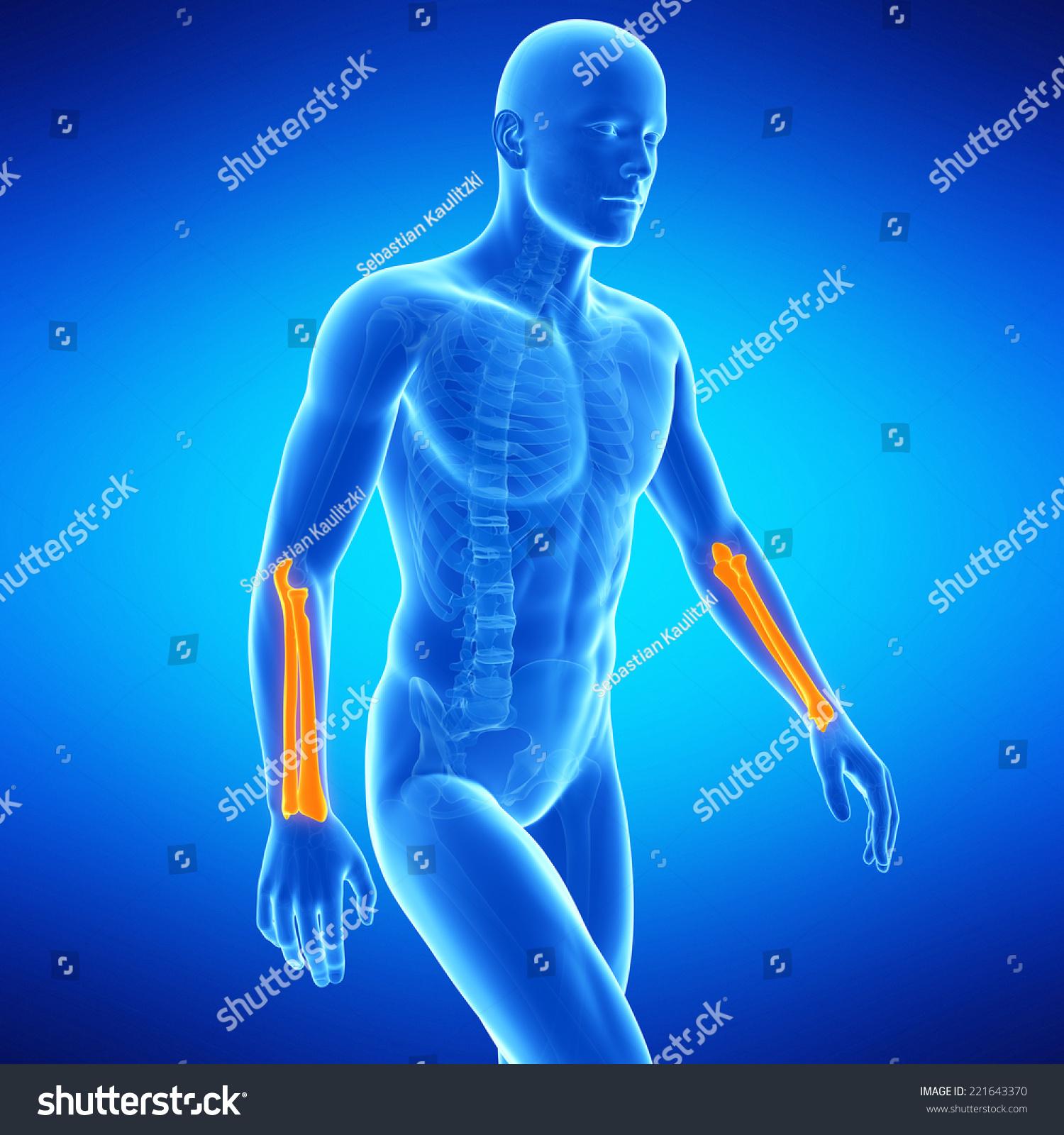 Medical Illustration Lower Arm Bones Stock Illustration 221643370