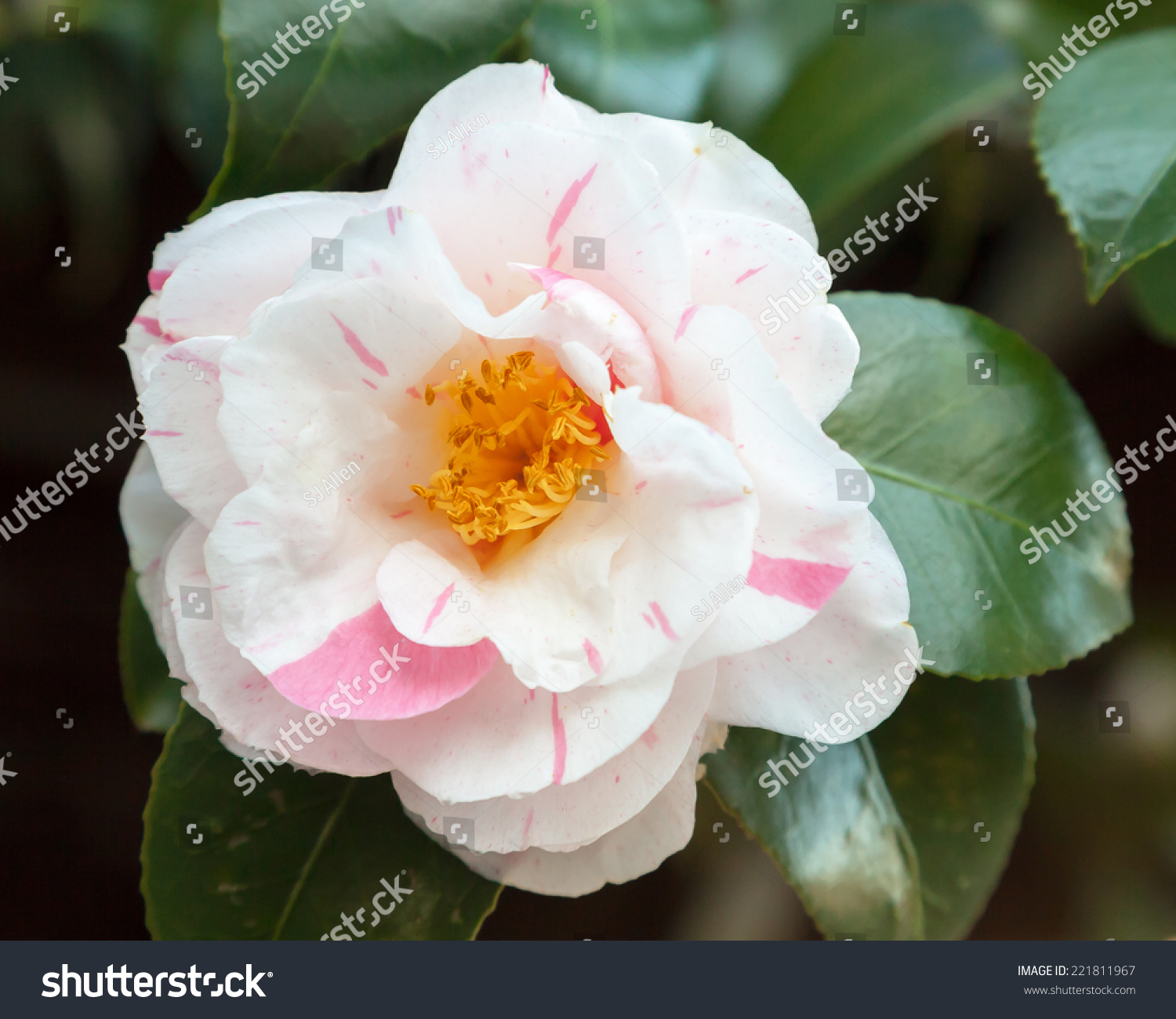 Beautiful White Pink Striped Flower Glossy Stock Photo Edit Now