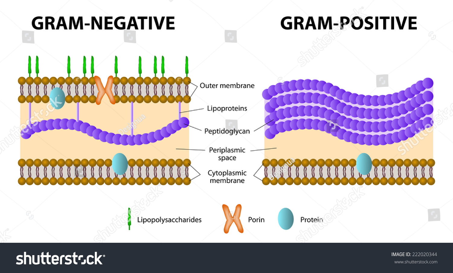 Bacteria difference grampositive gramnegative bacterial stock vector difference of gram positive from gram negative bacterial ccuart Images