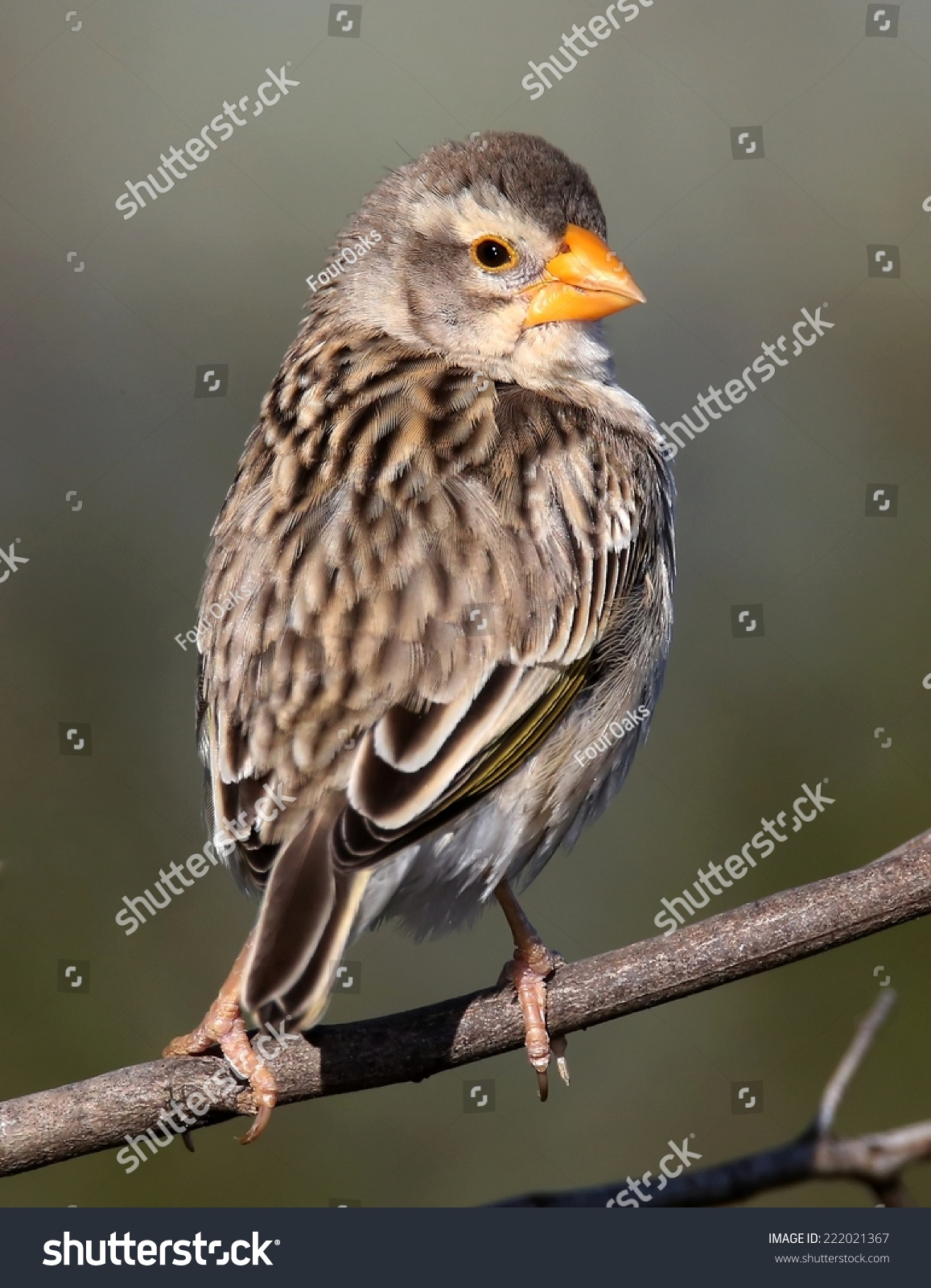 Finch bird orange beak looking backwards stock photo 222021367 finch bird with orange beak looking backwards biocorpaavc