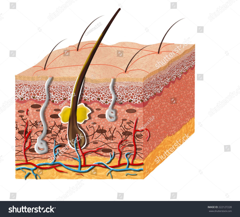 Skin Anatomy Diagram Illustration Skin Cross Stock