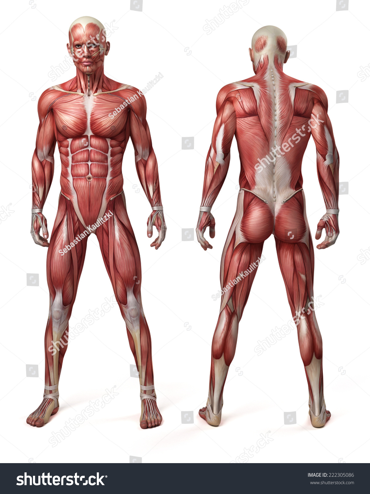 Medical 3d Illustration Of The Male Muscular System Ez Canvas