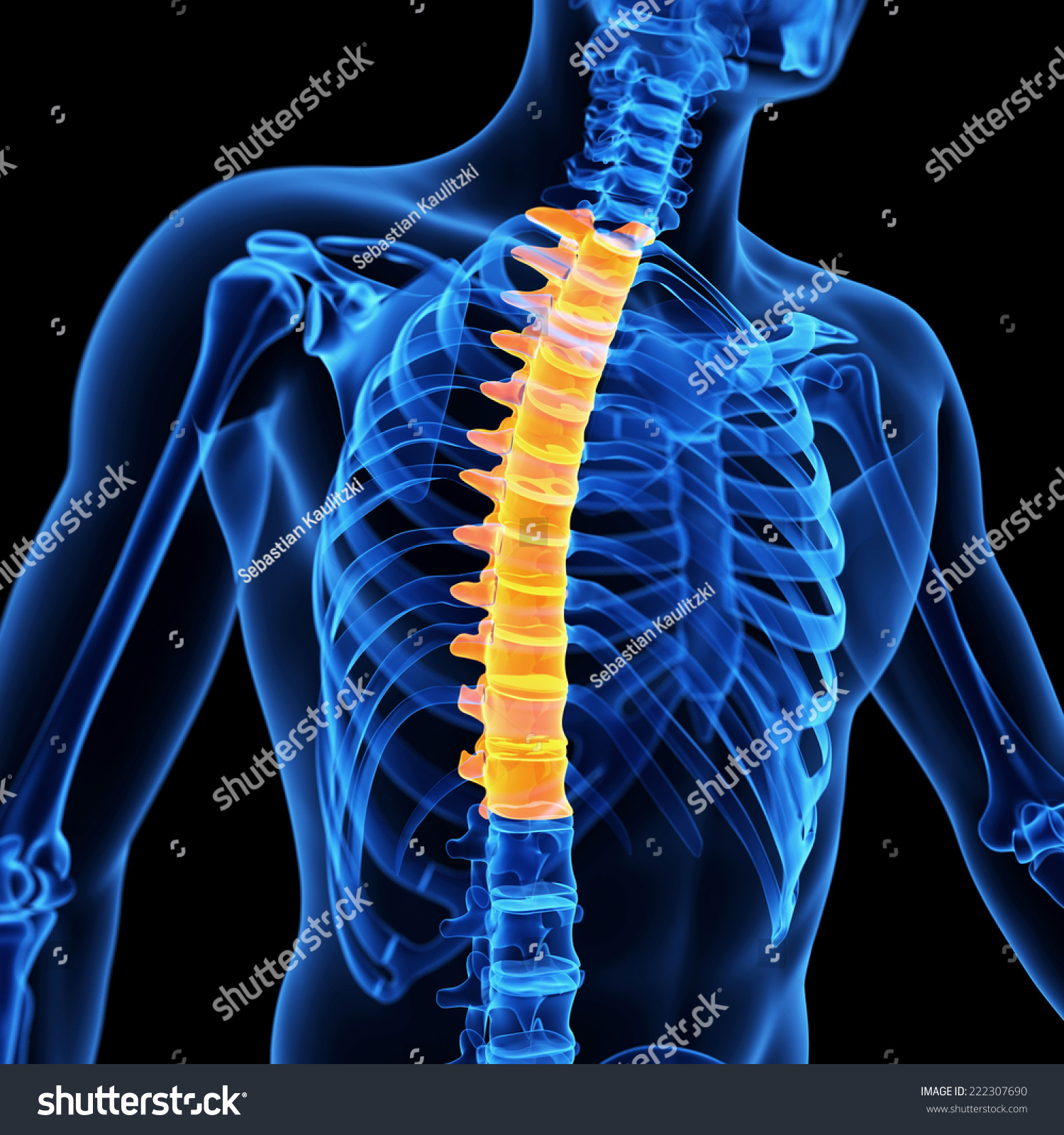 Medical 3 D Illustration Thoracic Spine Stock Illustration 222307690