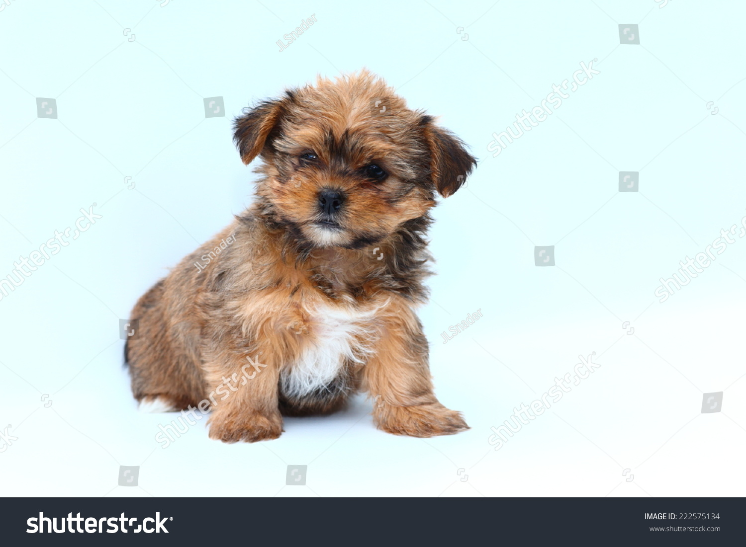 Fluffy Small Shih Tzu Yorkshire Terrier Mixed Stock Photo Edit Now