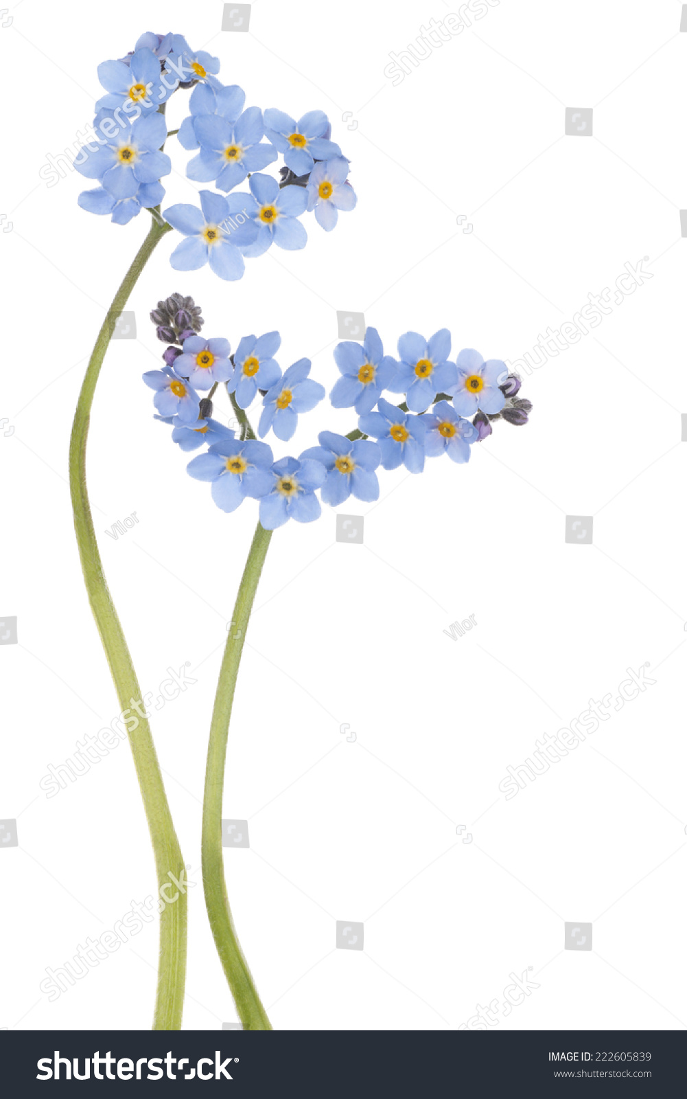 Studio Shot Of Blue Colored Forget Me Not Flowers Isolated On White