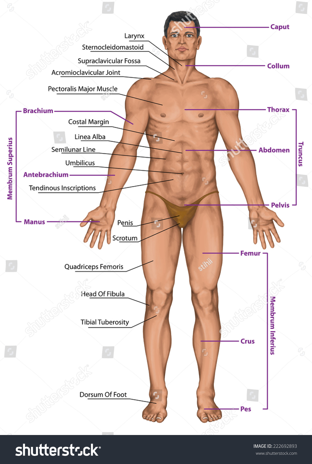 Human body surface anatomy