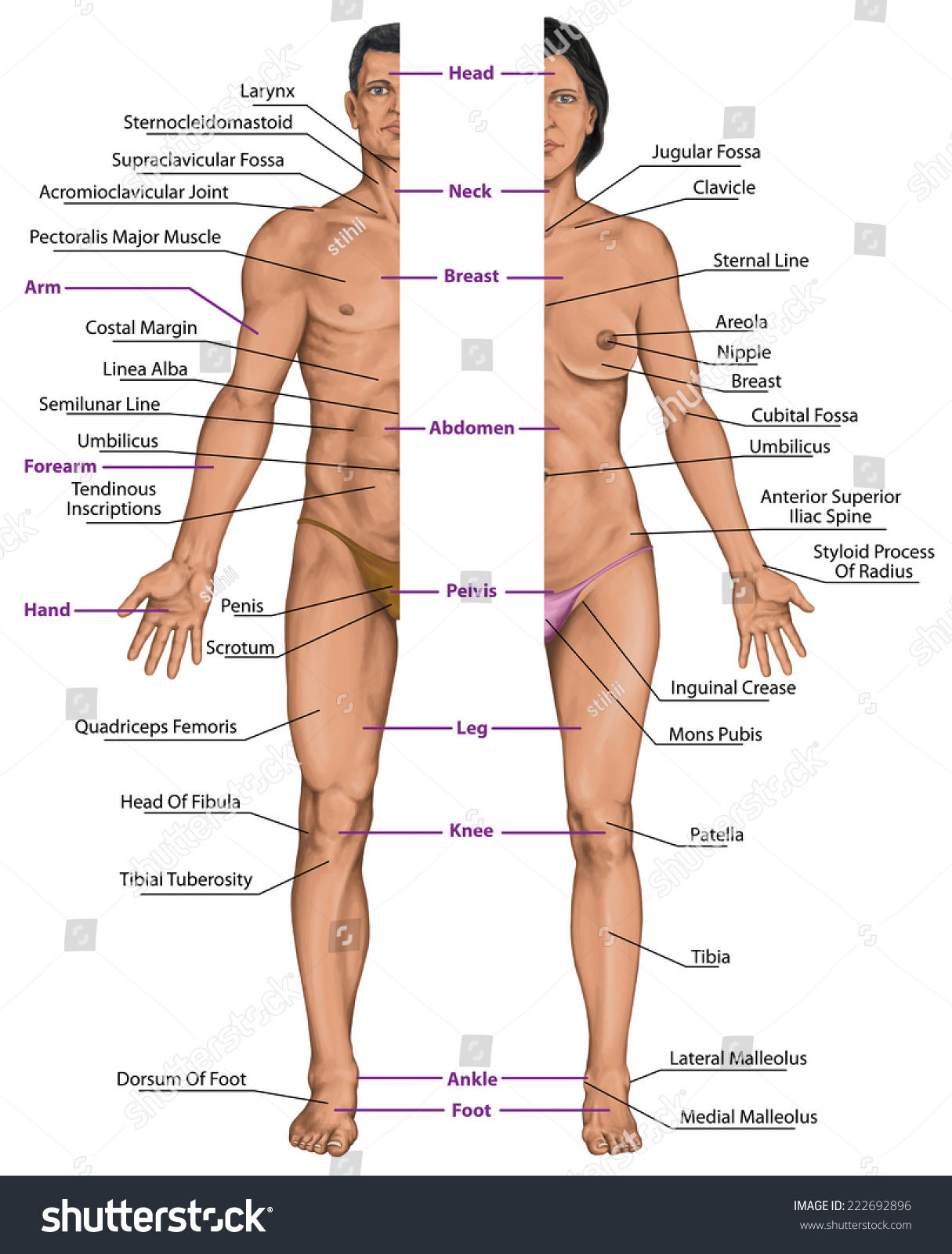 Male Female Anatomical Body Surface Anatomy Stock